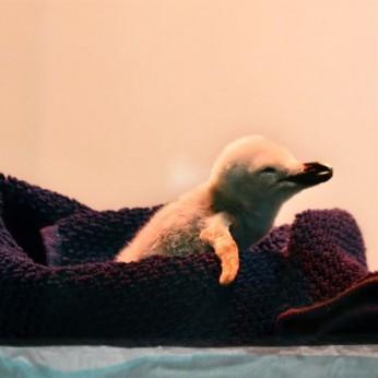 В «Лоро-Парке» впервые родился антарктический пингвин