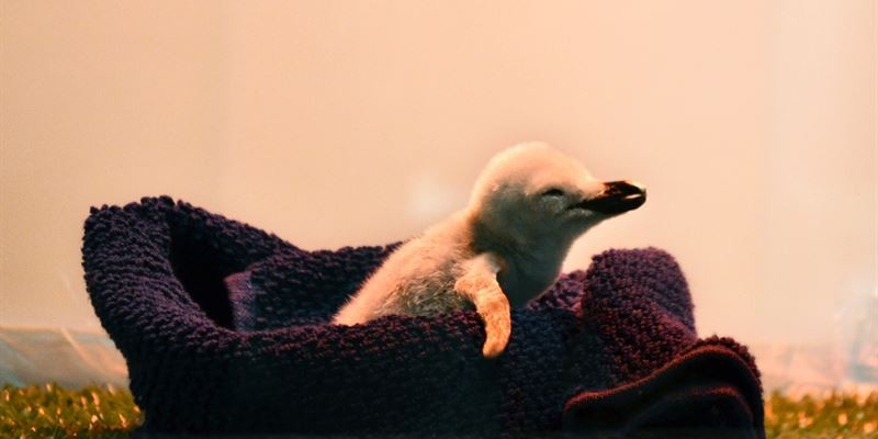 Детеныш антарктического пингвина