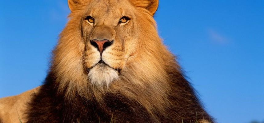 В «Лоро-Парке» к лету появятся африканские львы